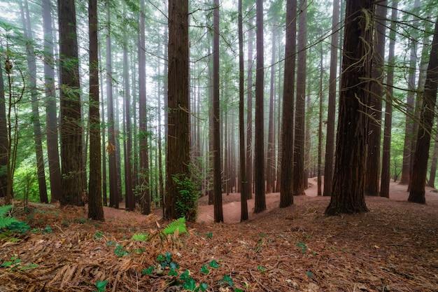 Las sekwoi w mglisty dzień z mnóstwem pni drzew