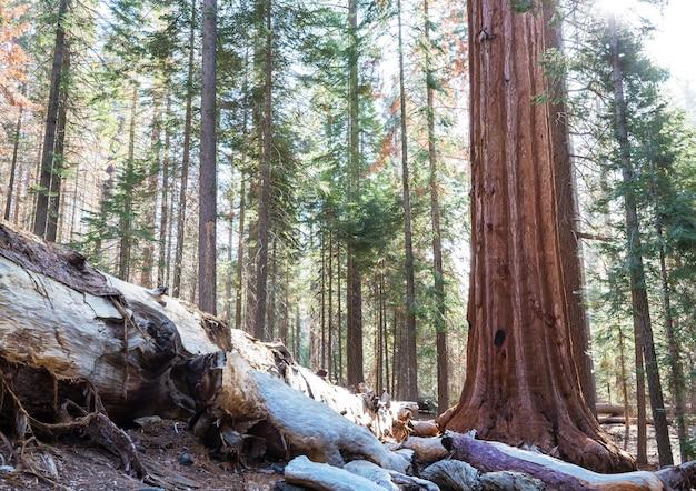 Las sekwoi w sezonie letnim