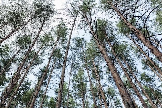 Las sosnowy sezon letni