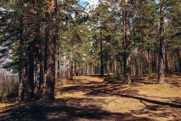 Las sosnowy w wiosenny letni dzień