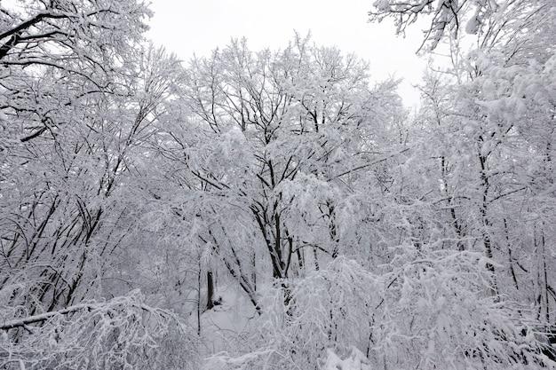Las w białym śniegu