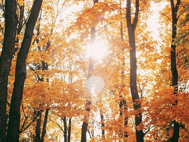 Las w promieniach słońca jesienią. żółte liście jesiennego lasu