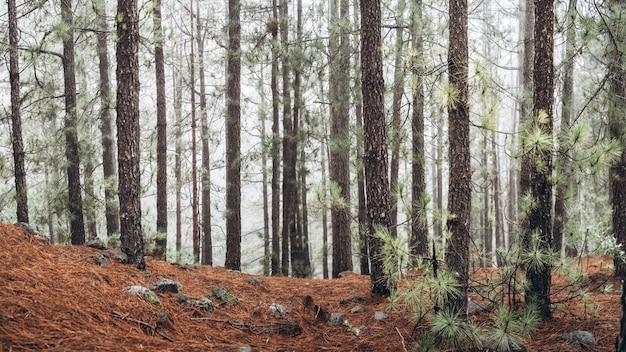 Las z drzewami we mgle rano.