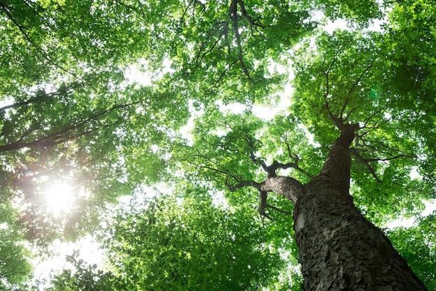 Las z dużymi drzewami