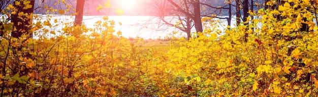 Las z żółtymi jesiennymi liśćmi nad rzeką podczas zachodu słońca, panorama