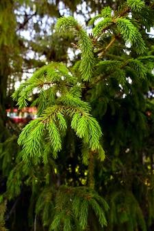 Las zielony drzewo