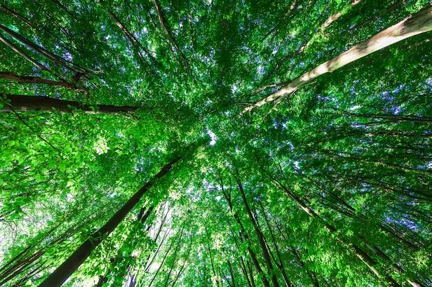 Lasowych drzew natury zieleni światła słonecznego drewniani tła