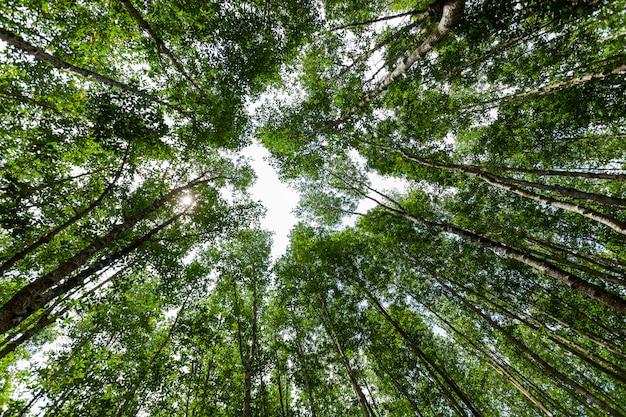 Lasowych wzrostowych drzew natury zieleni namorzynowi lasowi tła mrówki oka widok.