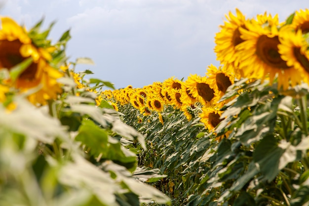Lata pole słoneczniki na słonecznym dniu