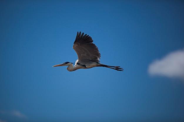 Latająca czapla na tle błękitnego nieba. dzikie ptaki