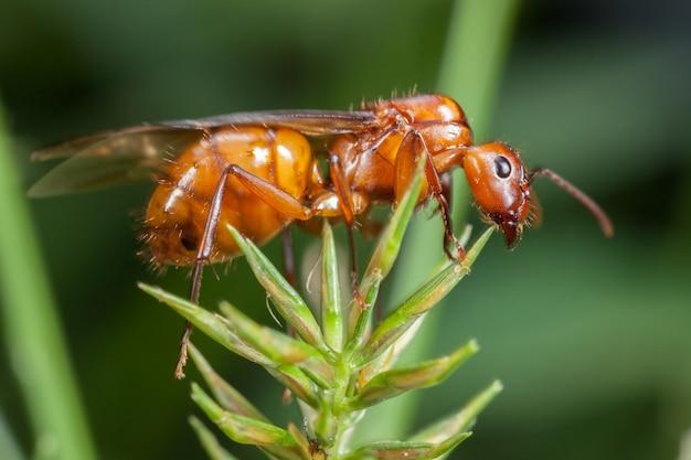 Latająca mrówka na liściach