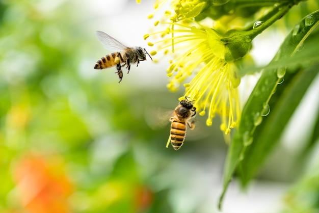 Latająca pszczoła miodna zbierająca pyłek na żółty kwiat.