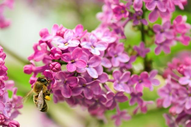 Latająca pszczoła zbierająca pyłek na kwiat bzu w dzień lata lub wiosny