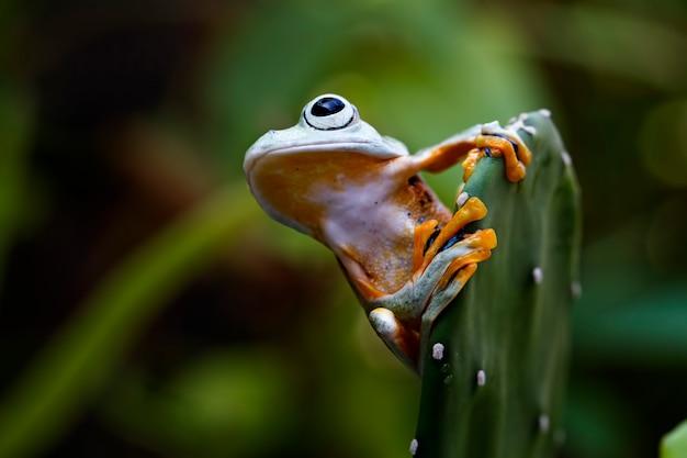 Latająca żaba, rhacophorus reinwardtii, javan frog