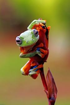 Latająca żaba, rhacophorus reinwardtii
