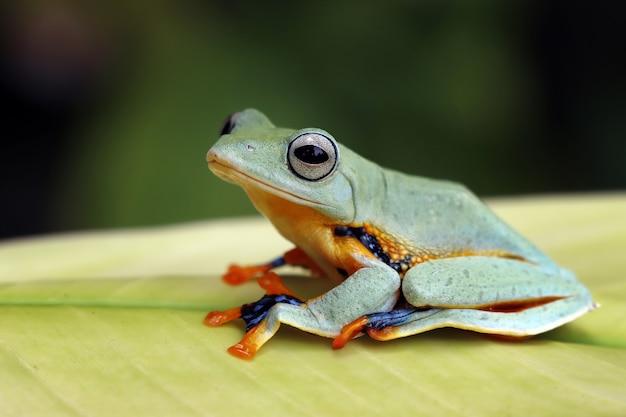 Latająca żaba siedząca na zielonych liściach