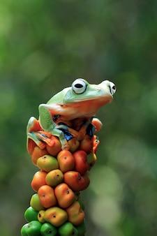 Latająca żaba zbliżenie piękna żaba drzewna na czerwonym kwiatku zwierzę zbliżenie rhacophorus reinwardtii