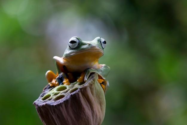 Latająca żaba zbliżenie twarz na gałęzi jawajska żaba drzewna zbliżenie obraz rhacophorus reinwartii