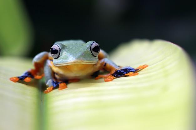 Latająca żaba zbliżenie twarz na gałęzi jawajska żaba drzewna zbliżenie