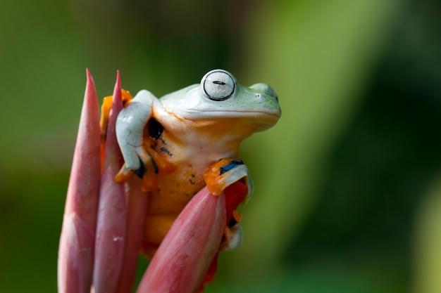 Latająca żaba zbliżenie twarzy na gałęzi jawajska żaba drzewna zbliżenie obrazu