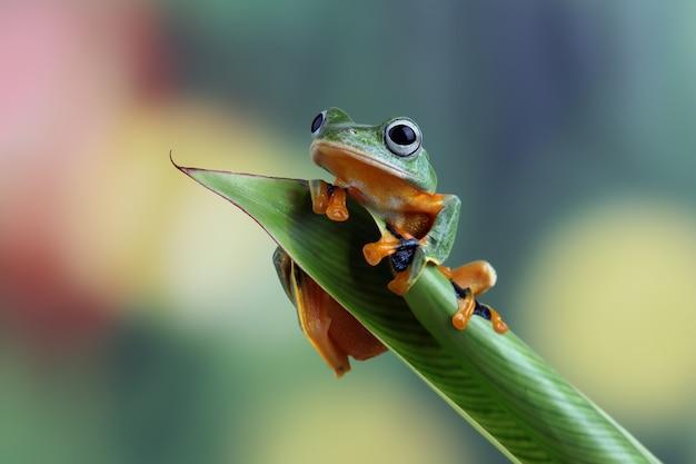 Latająca żaba zbliżenie twarzy na gałęzi