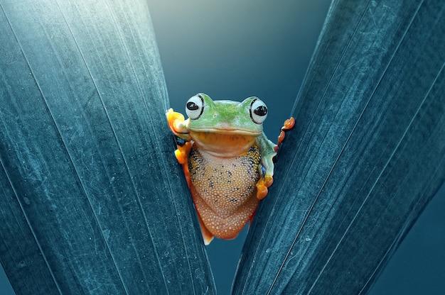 Latająca żaba