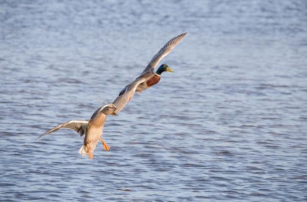 Latające kaczki