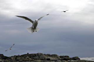Latające mewy, skrzydła, schodzenia