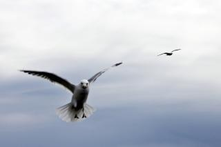 Latające mewy, skrzydła