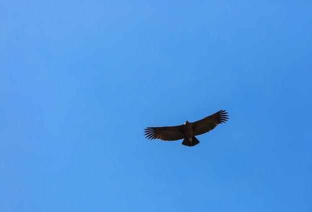 Latający kondor w kanionie colca, peru