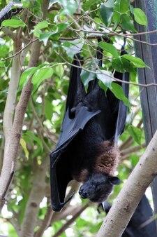 Latający nietoperz (pteropus) śpi w bioparc w fuengirola