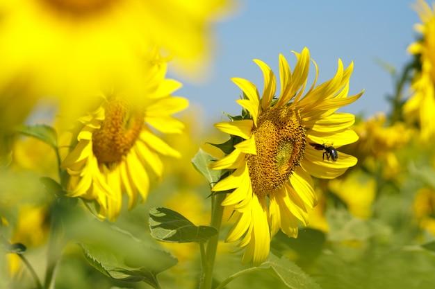 Latający trzmiel wołowy nektar na słoneczniku w dzień jasnego nieba.