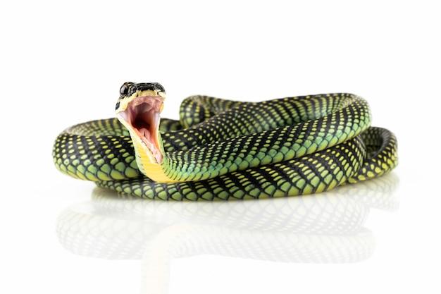 Latający wąż zbliżenie na białym tle latający wąż chrysopelea