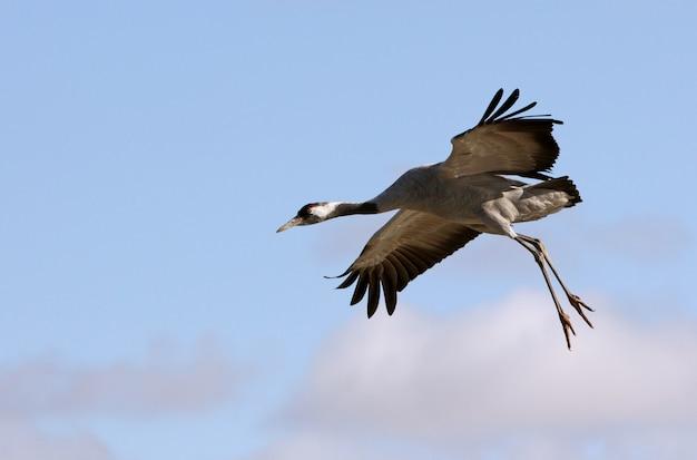 Latający żuraw, ptaki, grus grus
