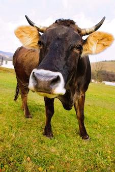 Latem krowy pasą się na trawie z żółtymi kwiatami