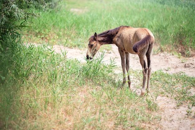Latem małe źrebię pasie się na ulicy. dziecko konia je trawę i spaceruje