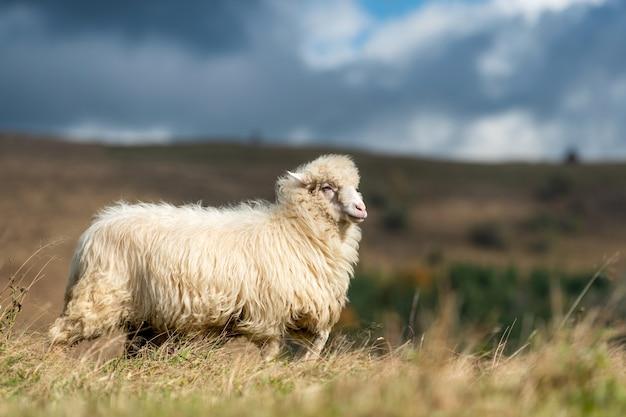 Latem wypas na pastwisku owce górskie