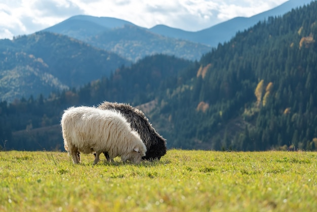 Latem wypas owiec górskich na pastwisku