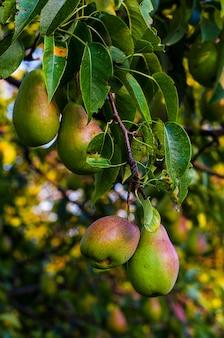 Latem zbieraj gruszki śpiące na drzewie w ogrodzie