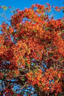 Lato kolorowe drzewo z czerwonymi tropikalnymi kwiatami na tle błękitnego nieba w sharm el sheikh, egipt, afryka, z bliska. czerwone kwiaty pawia lub płomień drzewa, królewski poinciana na tle nieba