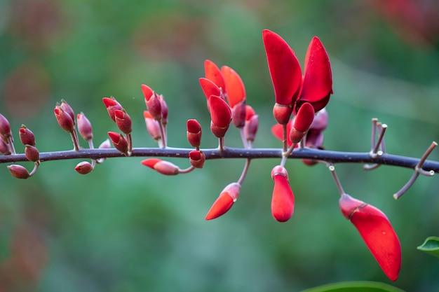 Lato kolorowe drzewo z czerwonymi tropikalnymi kwiatami w ogrodzie wietnamu, zbliżenie