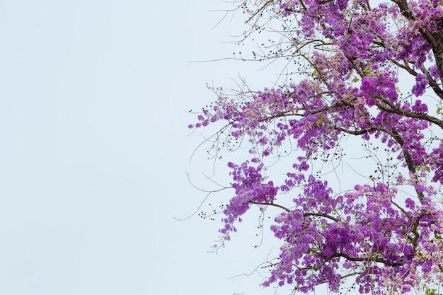 Lato kwiat, lagerstroemia floribunda, kwiatu drzewo.