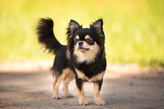 Lato. pies chihuahua na słonecznej polanie