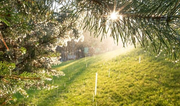 Lato w tle. krople deszczu lub rosa na gałęziach sosny, oświetlone światłem słonecznym.
