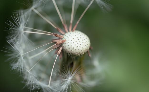 Lato zielone tło. pół mniszka lekarskiego. wiatr