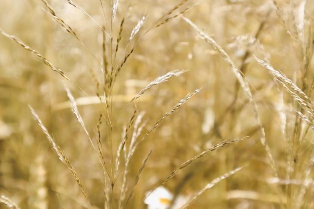 Lato zielone tło, żółta trawa na łące