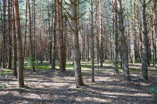 Lato zielony las sosnowy z wysokimi drzewami w słoneczny dzień