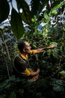 Latynoamerykański plantator kawy pracujący przy żniwach ze swoimi roślinami i suszący kawę w dżungli