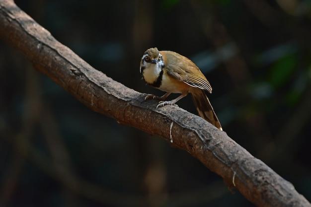 Laughingthrush przysiadła na gałęzi w naturze