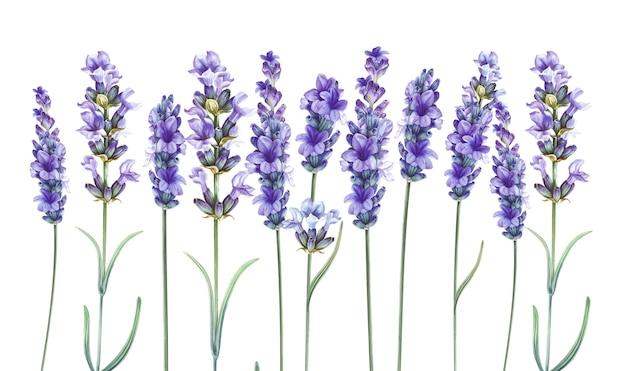 Lavandula aromatyczne kwiaty ziołowe.